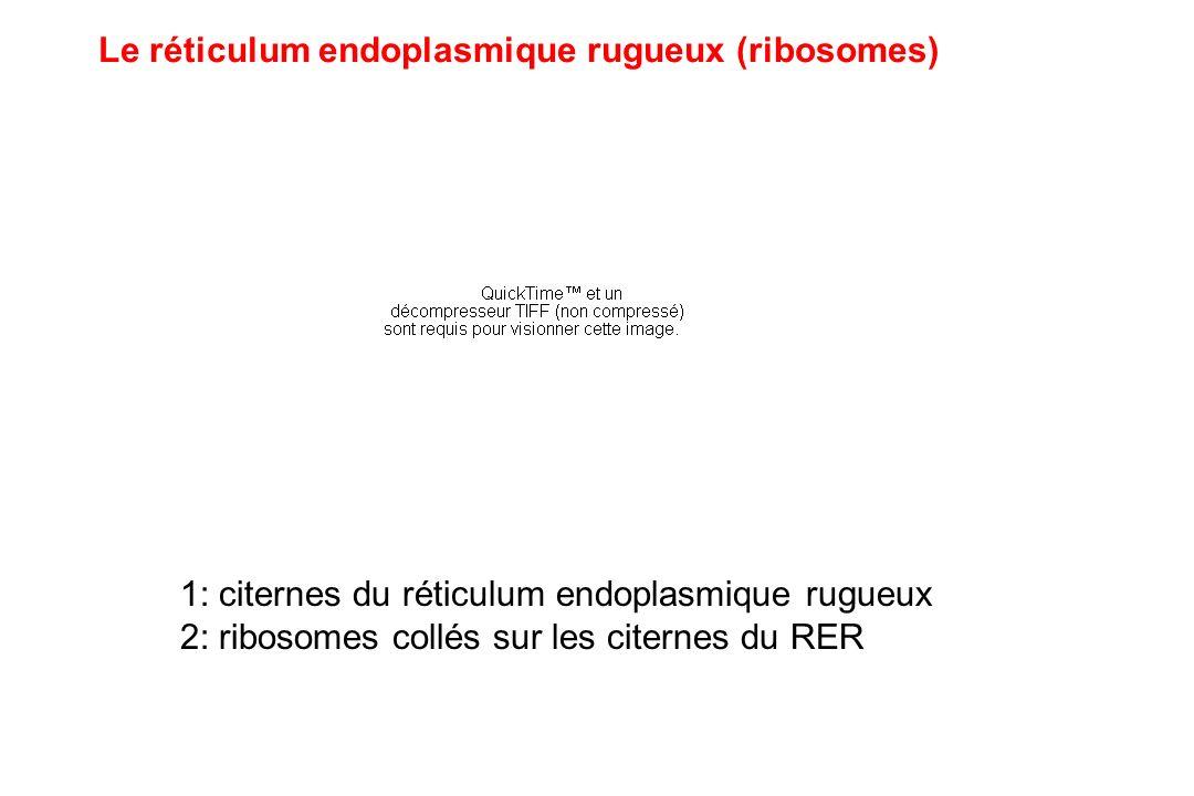 Le réticulum endoplasmique rugueux (ribosomes)
