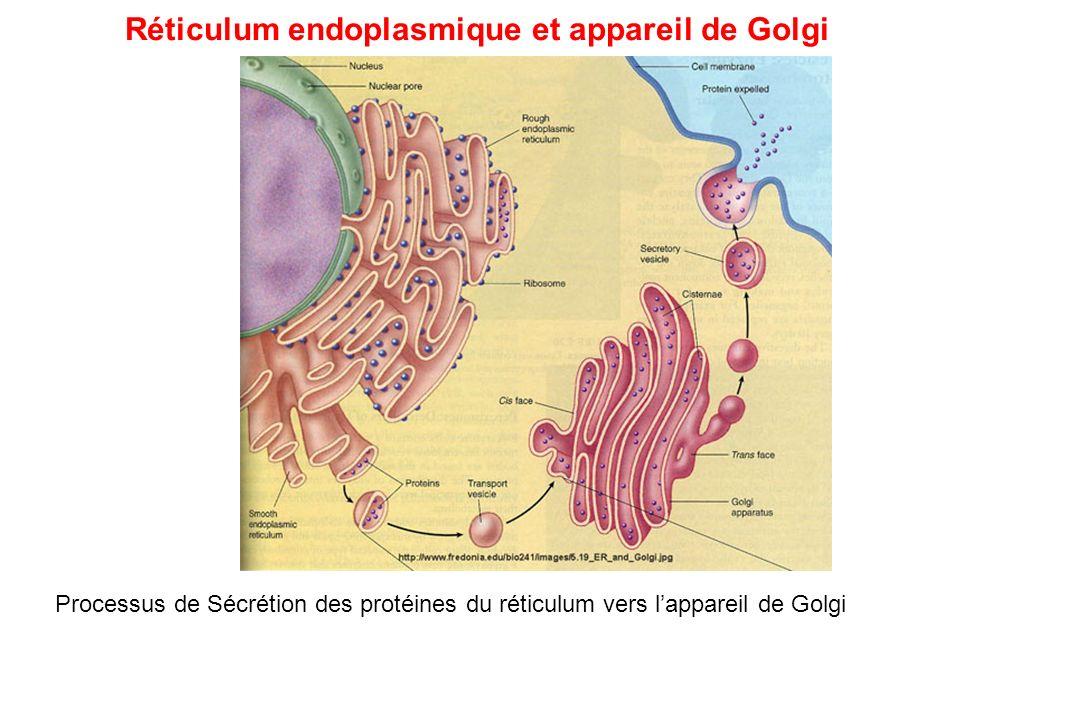Réticulum endoplasmique et appareil de Golgi