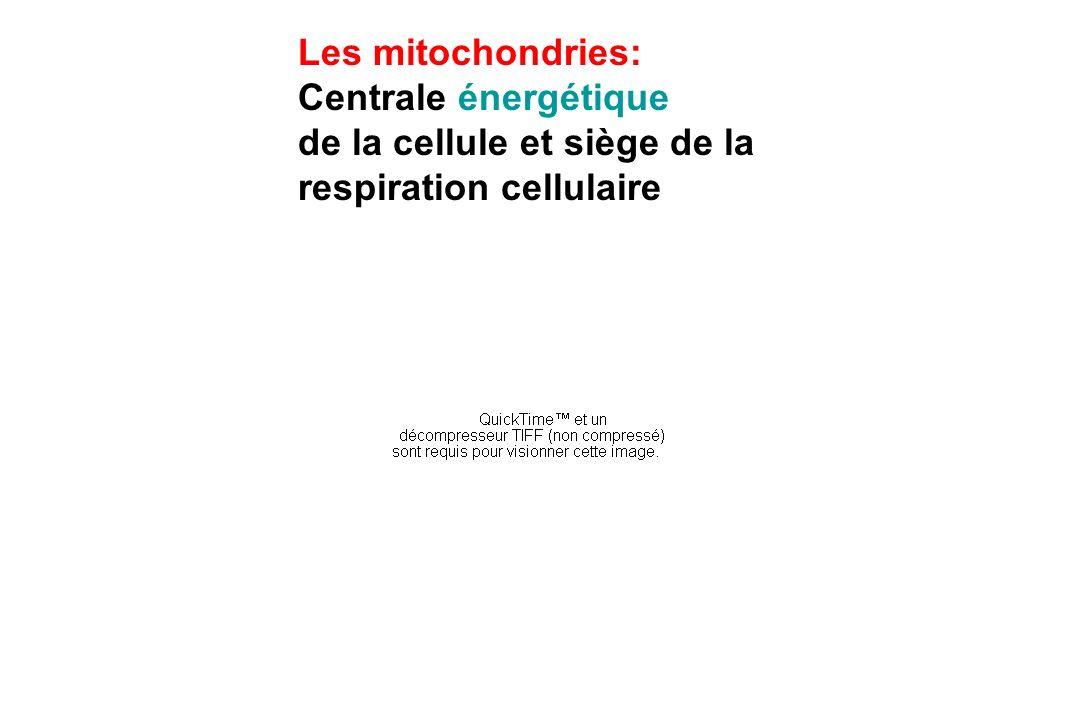 Les mitochondries: Centrale énergétique de la cellule et siège de la respiration cellulaire