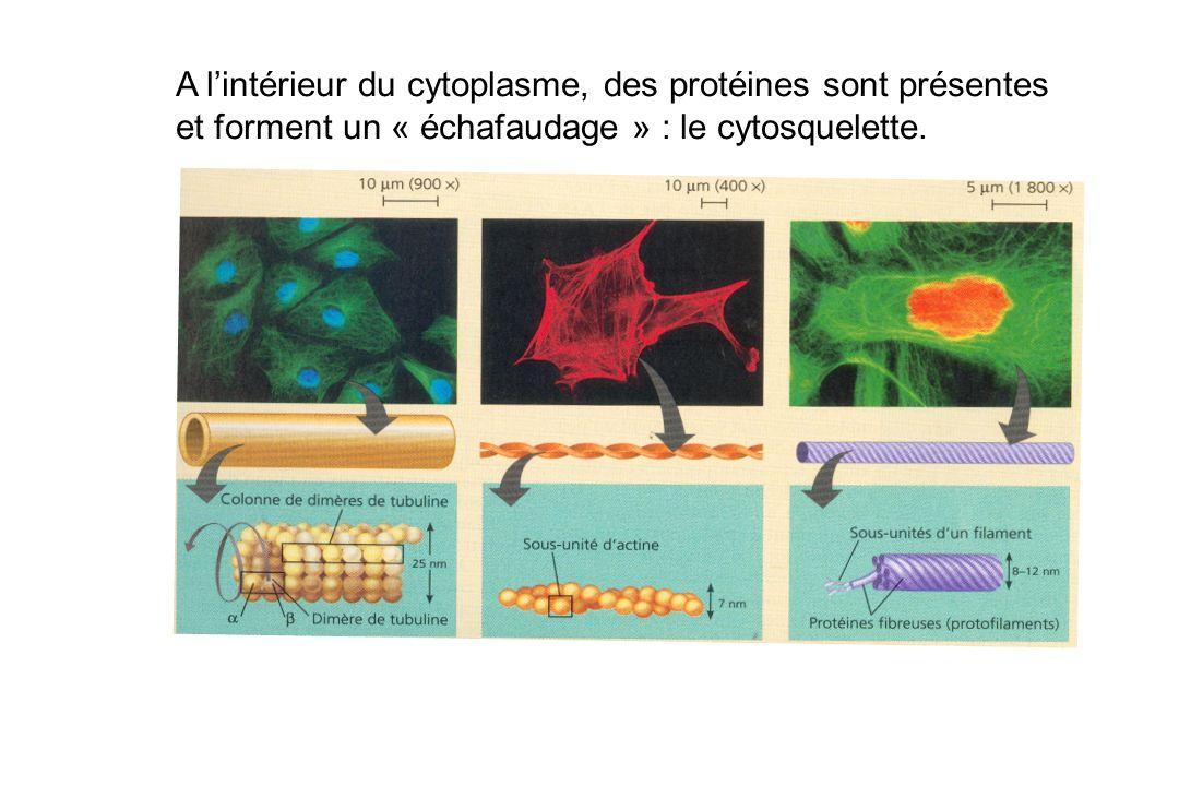 A l'intérieur du cytoplasme, des protéines sont présentes