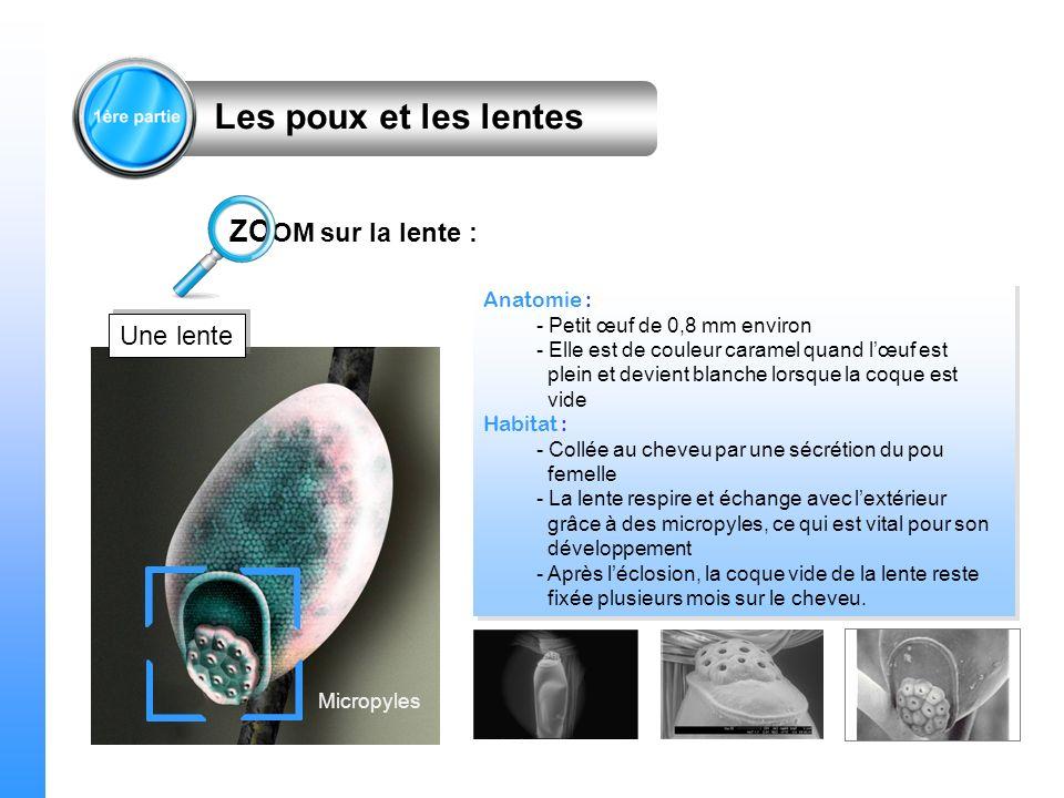 Les poux et les lentes ZOOM sur la lente : Une lente Anatomie :