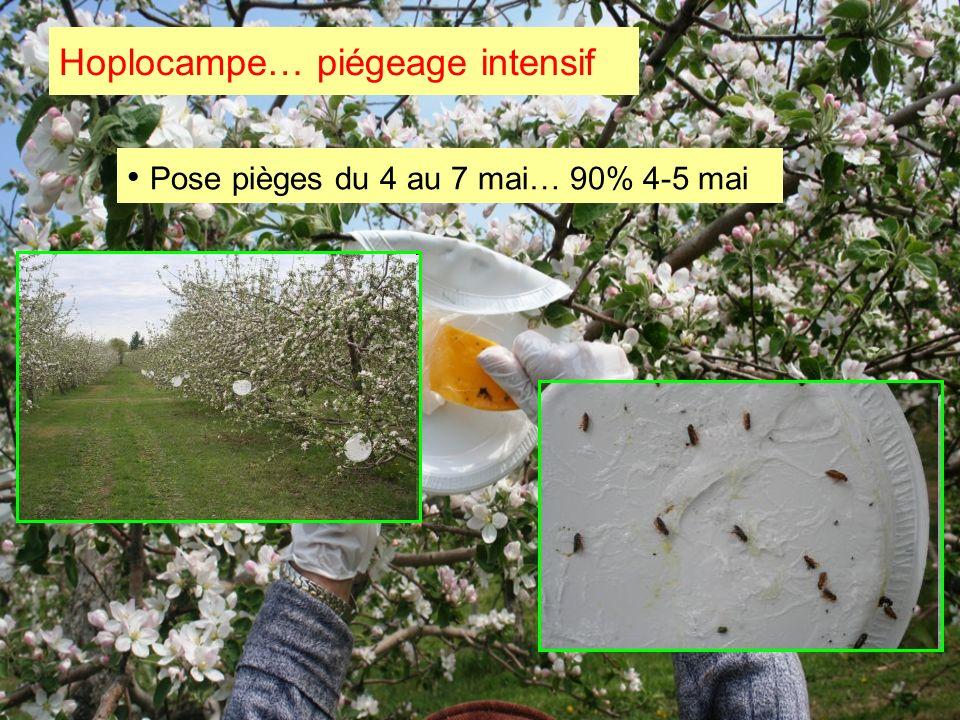 Hoplocampe… piégeage intensif