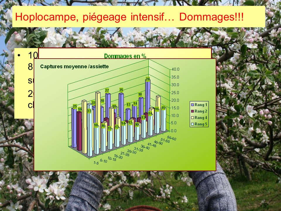Hoplocampe, piégeage intensif… Dommages!!!