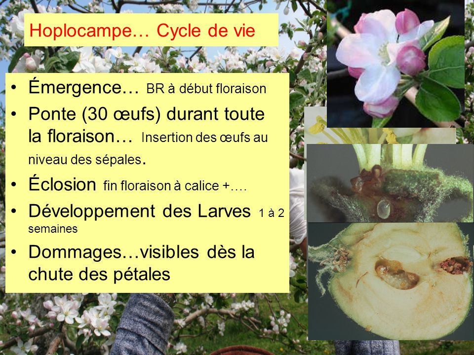 Hoplocampe… Cycle de vie