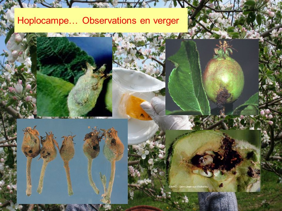 Hoplocampe… Observations en verger