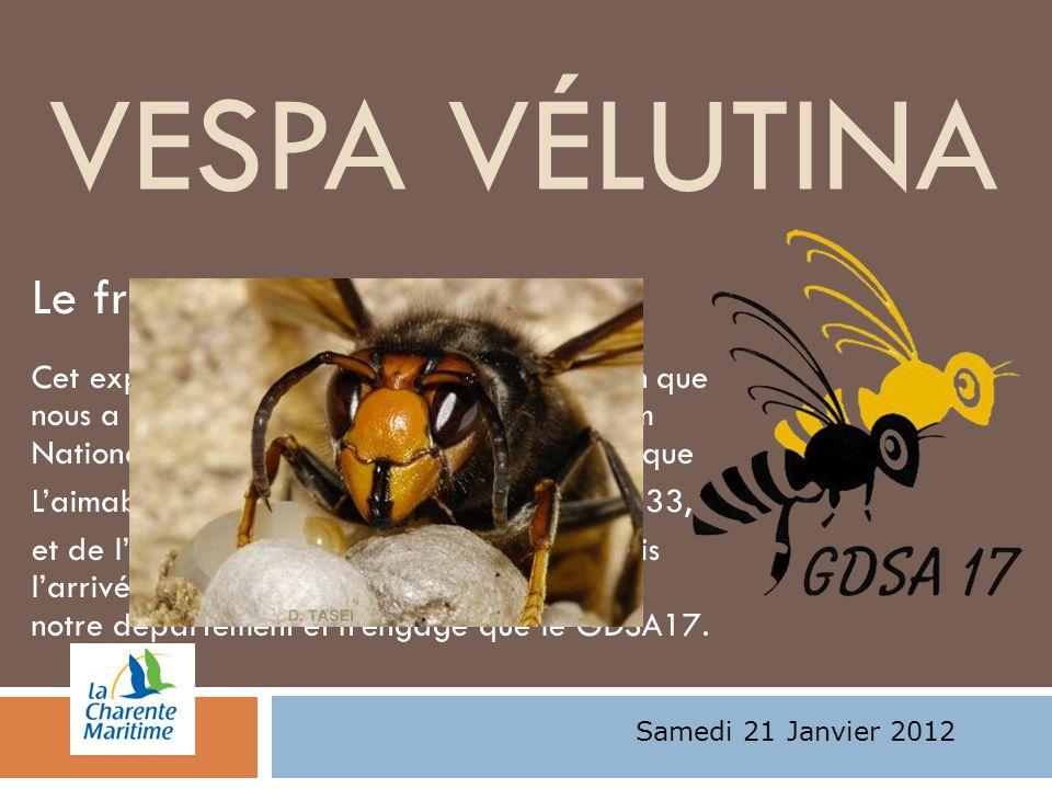 Vespa Vélutina Le frelon asiatique:
