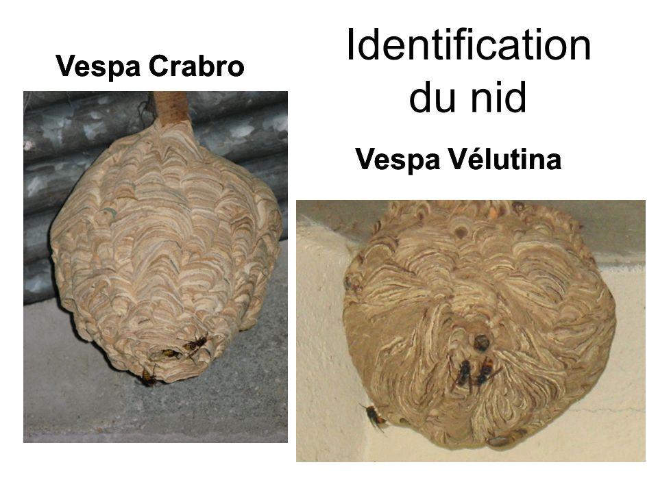 Identification du nid Vespa Crabro Vespa Crabro Vespa Vélutina