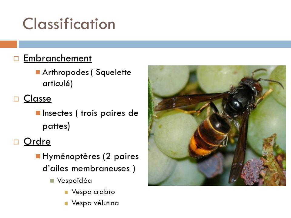 Classification Embranchement Classe Ordre