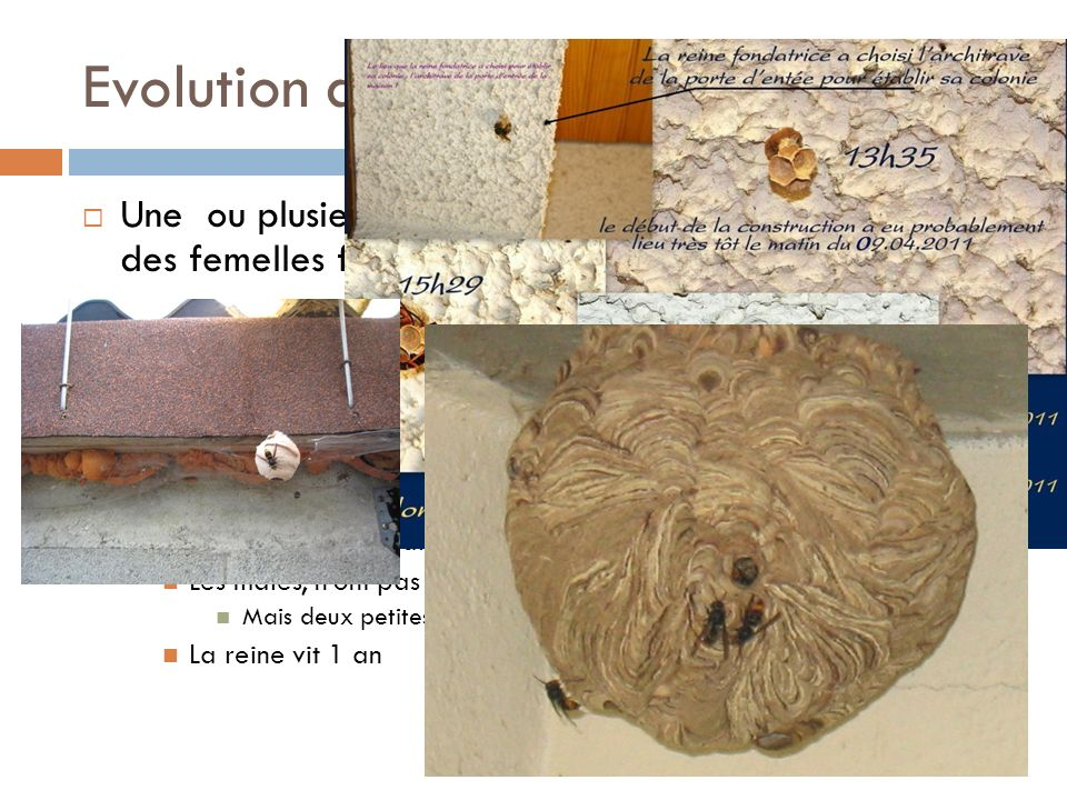 Evolution du nid Une ou plusieurs poteries ont certainement accueilli des femelles fondatrices hivernantes.