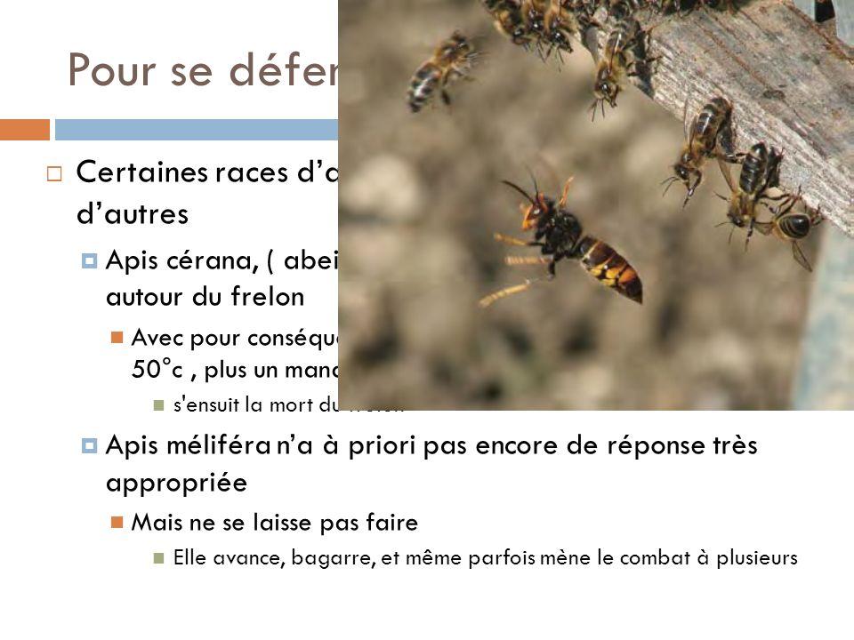 Pour se défendre Certaines races d'abeilles se défendent mieux que d'autres.