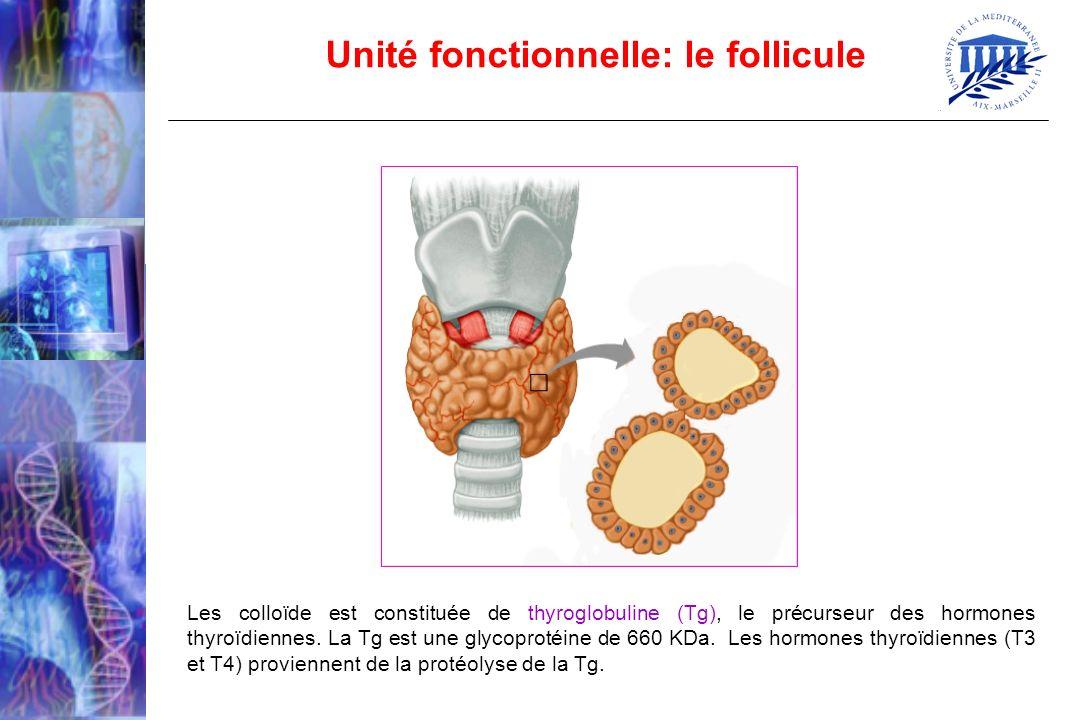 Unité fonctionnelle: le follicule
