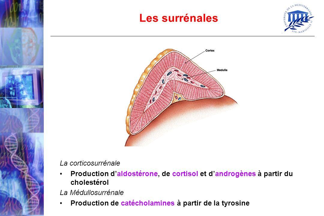 Les surrénales La corticosurrénale