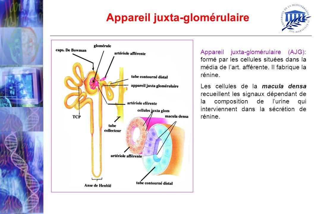 Appareil juxta-glomérulaire