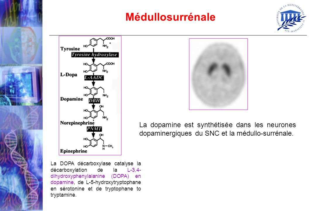 Médullosurrénale La dopamine est synthétisée dans les neurones dopaminergiques du SNC et la médullo-surrénale.