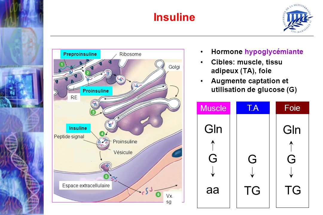 Gln G aa TG Insuline Muscle T.A Foie Hormone hypoglycémiante
