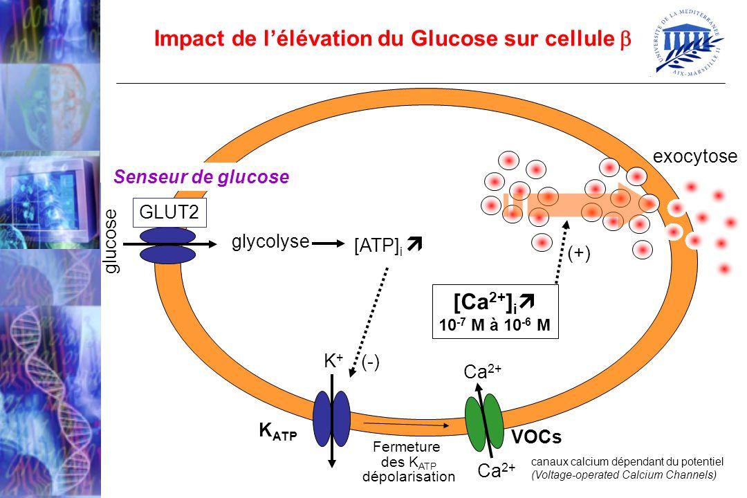 Impact de l'élévation du Glucose sur cellule 