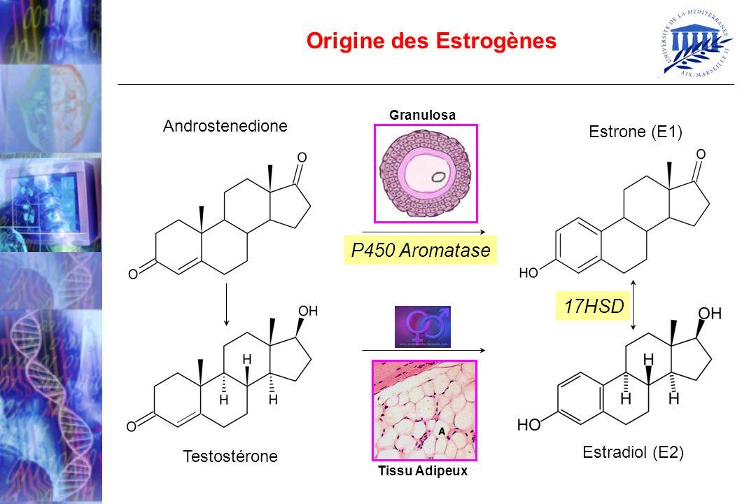 Origine des Estrogènes