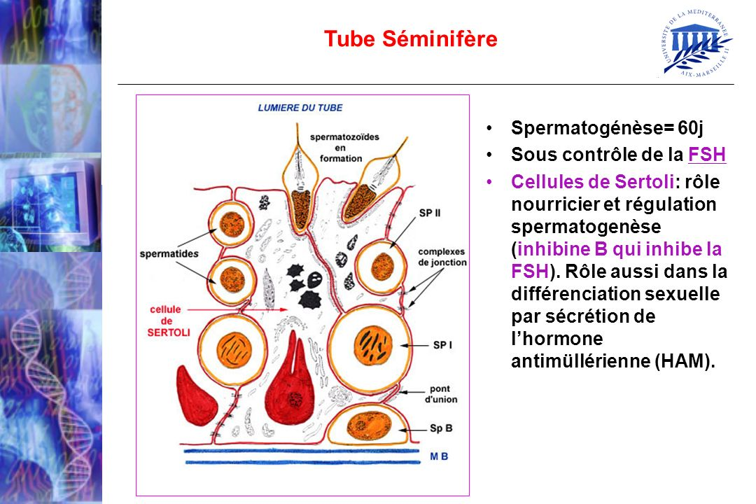 Tube Séminifère Spermatogénèse= 60j Sous contrôle de la FSH