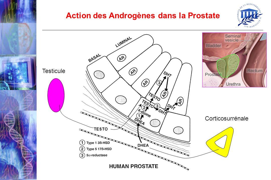 Action des Androgènes dans la Prostate