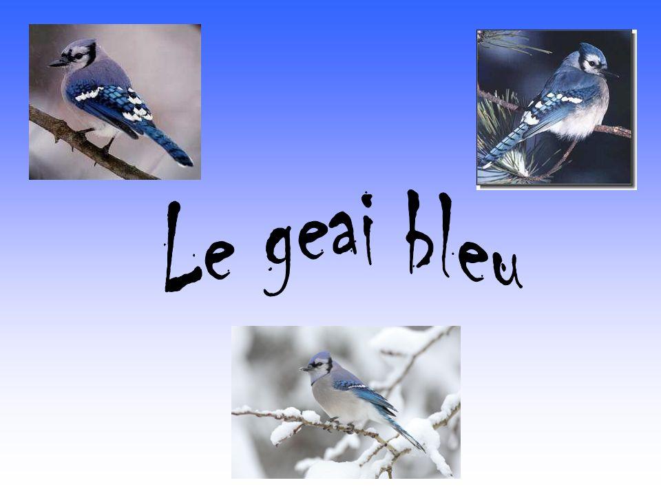 Le geai bleu