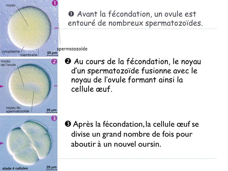  Avant la fécondation, un ovule est entouré de nombreux spermatozoïdes.