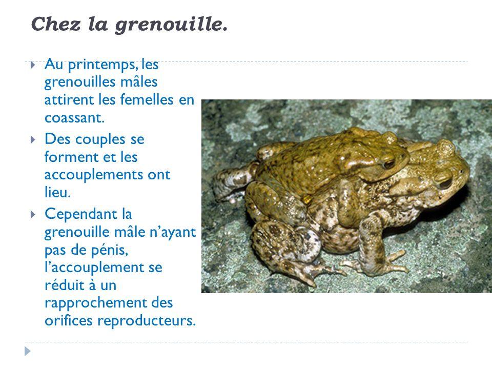 Chez la grenouille. Au printemps, les grenouilles mâles attirent les femelles en coassant.