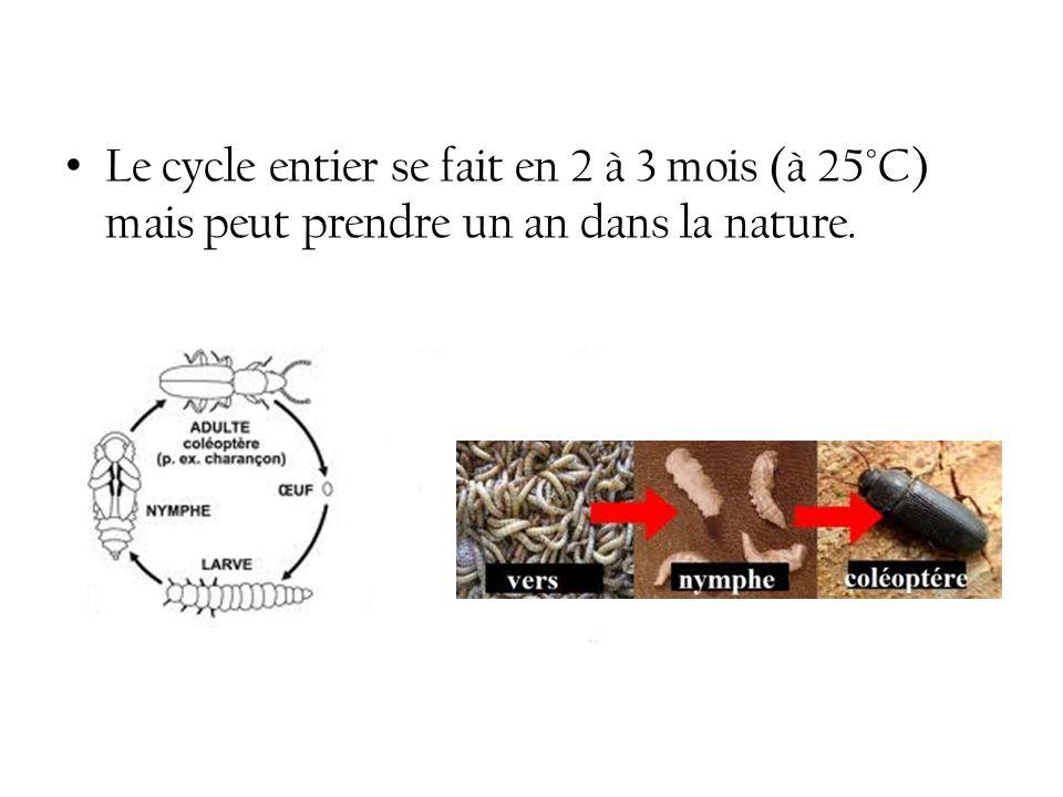 Le cycle entier se fait en 2 à 3 mois (à 25°C) mais peut prendre un an dans la nature.