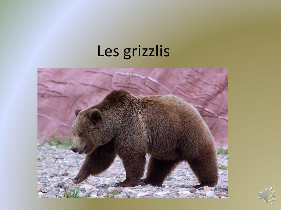 Les grizzlis