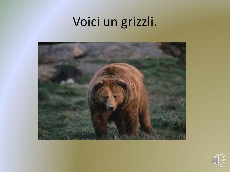 Voici un grizzli.