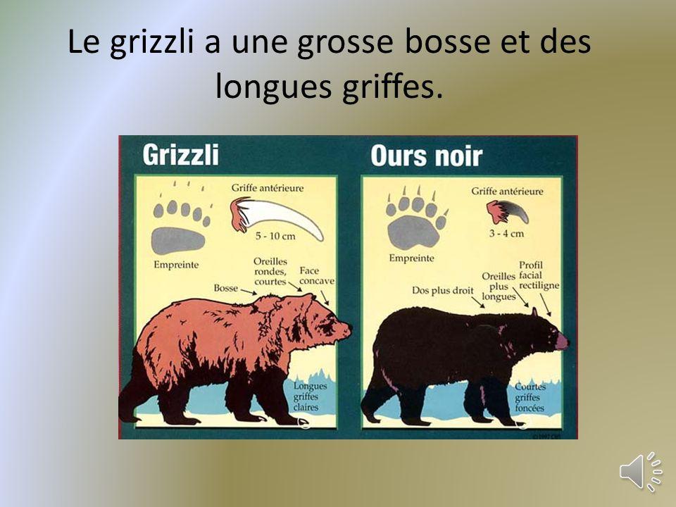 Le grizzli a une grosse bosse et des longues griffes.