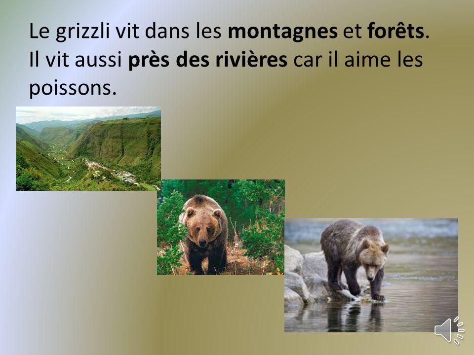 Le grizzli vit dans les montagnes et forêts