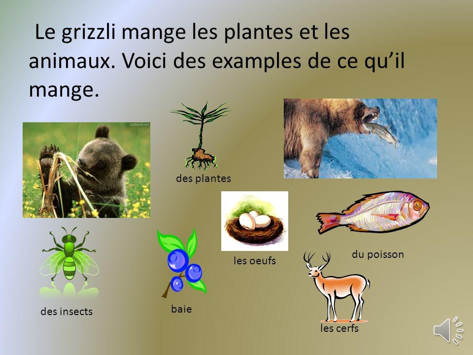 Le grizzli mange les plantes et les animaux