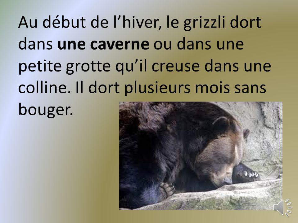 Au début de l'hiver, le grizzli dort dans une caverne ou dans une petite grotte qu'il creuse dans une colline.