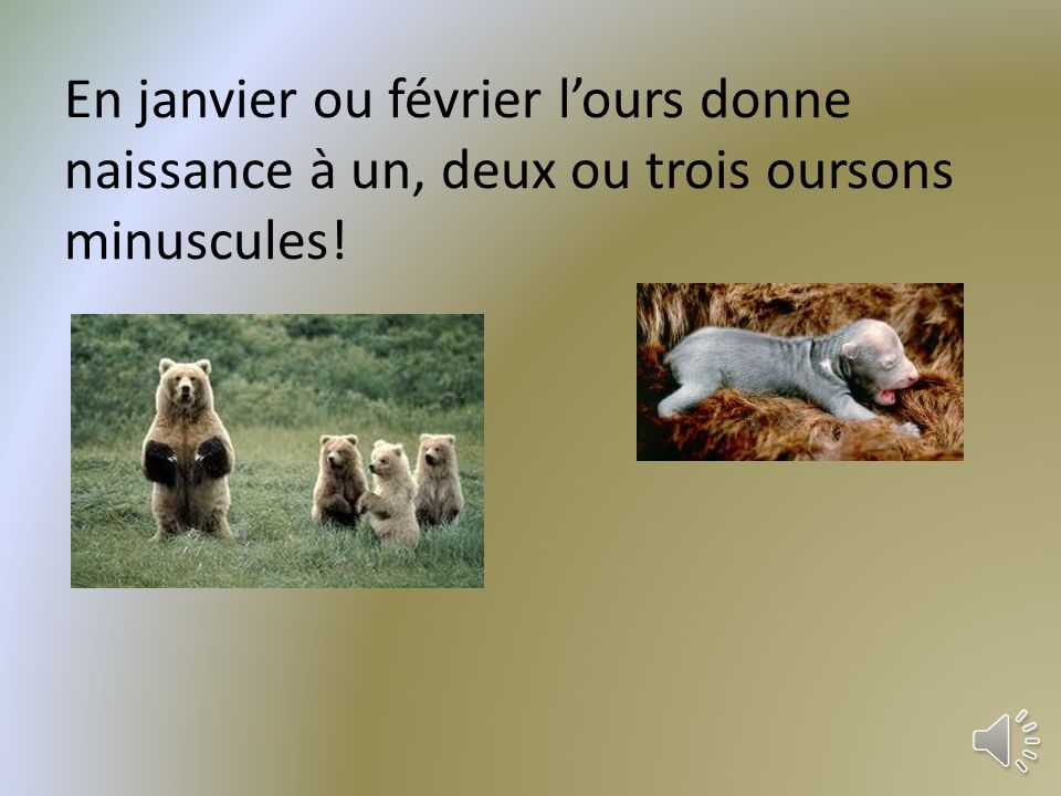En janvier ou février l'ours donne naissance à un, deux ou trois oursons minuscules!