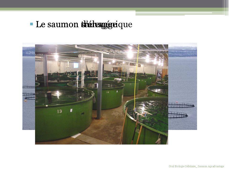 Le saumon transgénique