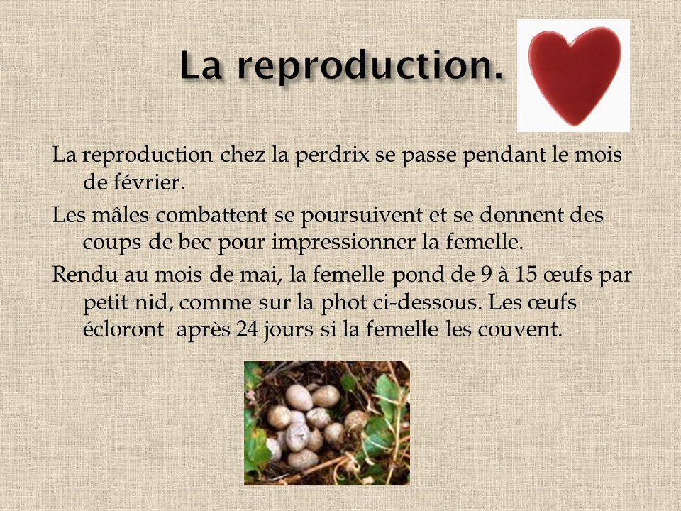 La reproduction. La reproduction chez la perdrix se passe pendant le mois de février.