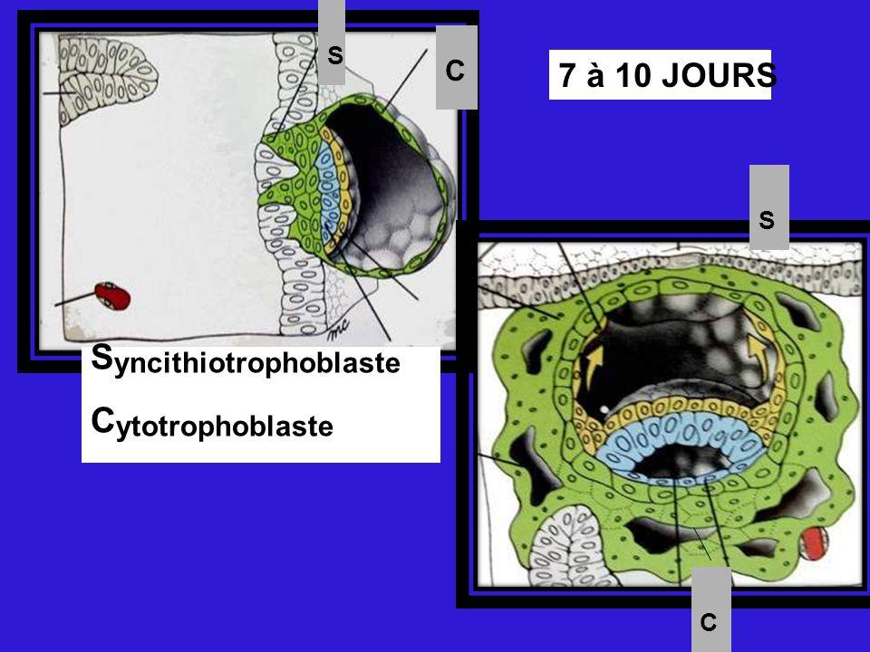 Syncithiotrophoblaste Cytotrophoblaste