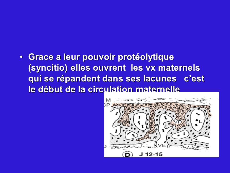 Grace a leur pouvoir protéolytique (syncitio) elles ouvrent les vx maternels qui se répandent dans ses lacunes c'est le début de la circulation maternelle