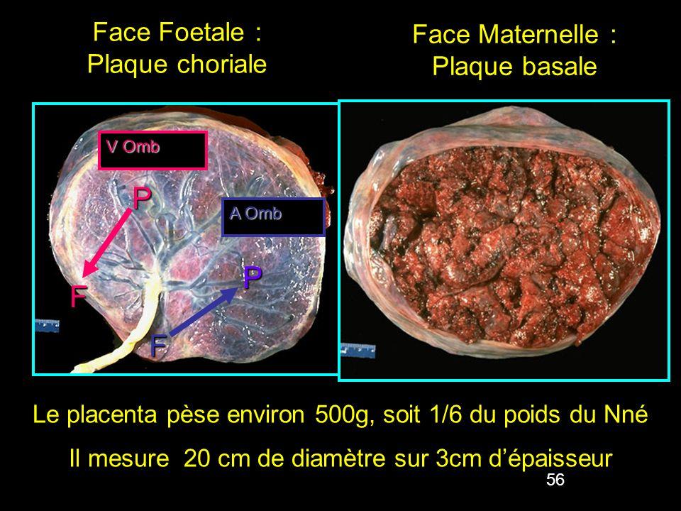 P P F F Face Foetale : Plaque choriale Face Maternelle : Plaque basale