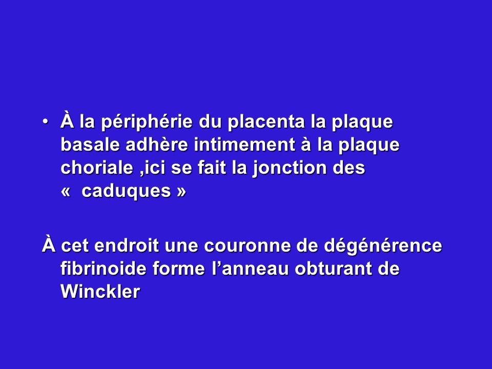 À la périphérie du placenta la plaque basale adhère intimement à la plaque choriale ,ici se fait la jonction des « caduques »