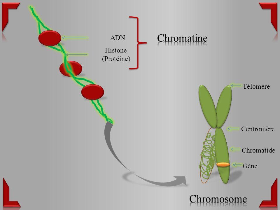 Chromatine Chromosome ADN Histone (Protéine) Télomère Centromère