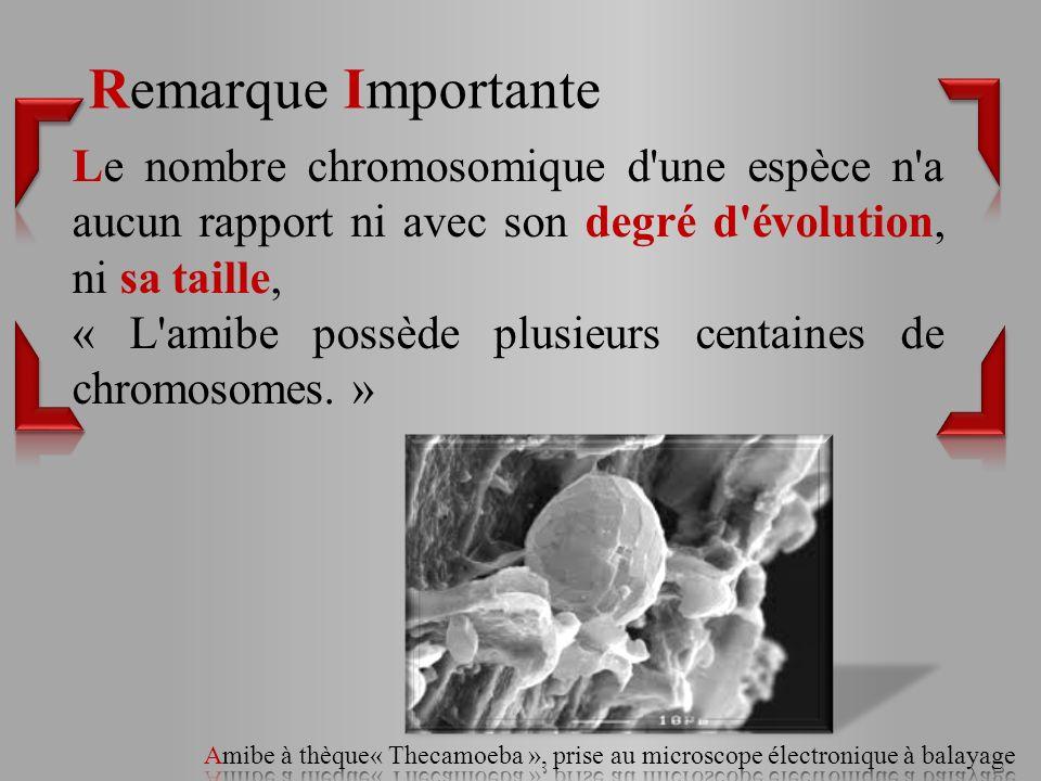 Remarque Importante Le nombre chromosomique d une espèce n a aucun rapport ni avec son degré d évolution, ni sa taille,