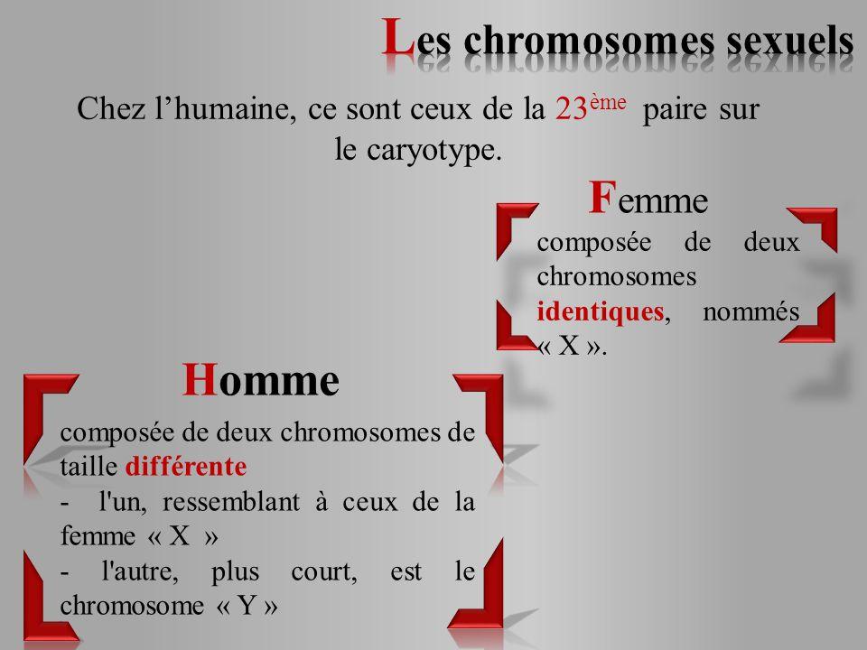 Chez l'humaine, ce sont ceux de la 23ème paire sur le caryotype.