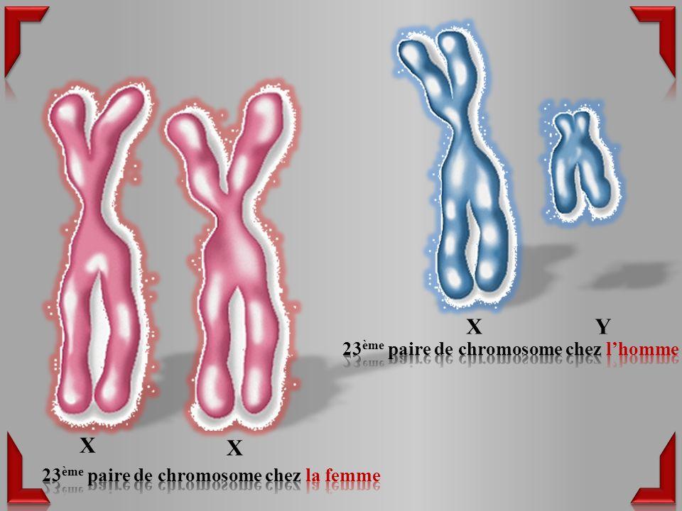 X Y X X 23ème paire de chromosome chez l'homme