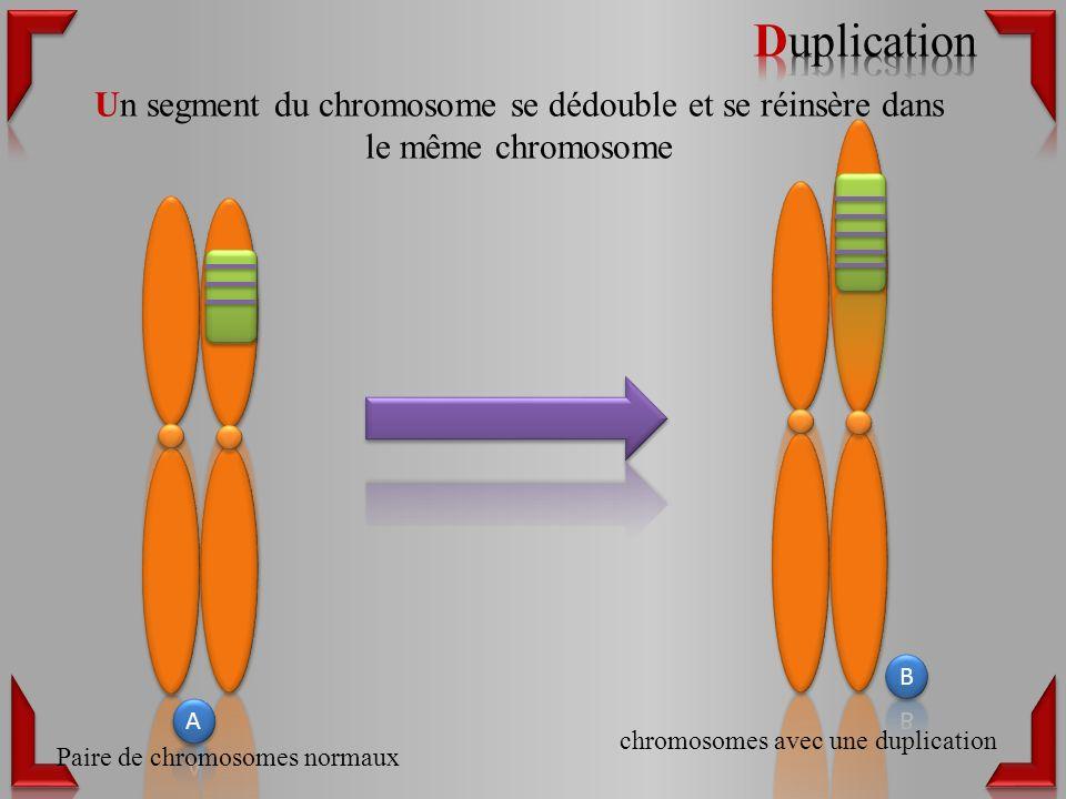 Duplication Un segment du chromosome se dédouble et se réinsère dans le même chromosome. B. A. chromosomes avec une duplication.