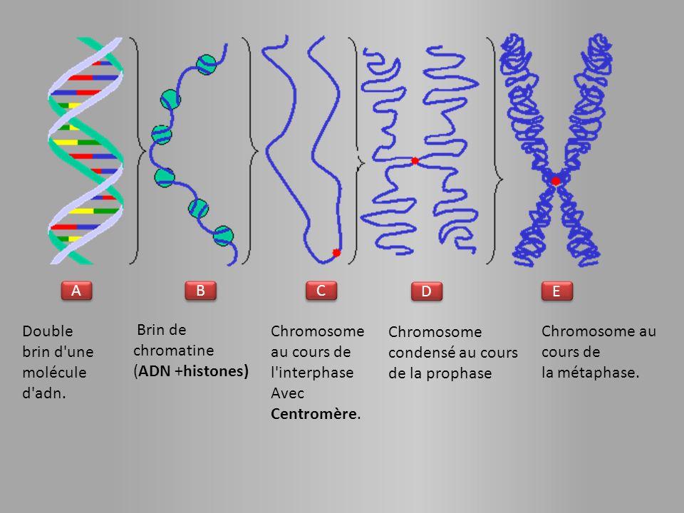 A B. C. D. E. Double brin d une molécule d adn. Brin de chromatine (ADN +histones) Chromosome au cours de l interphase