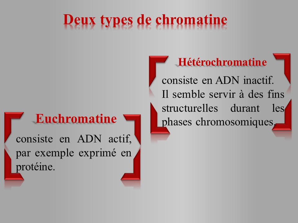 Deux types de chromatine