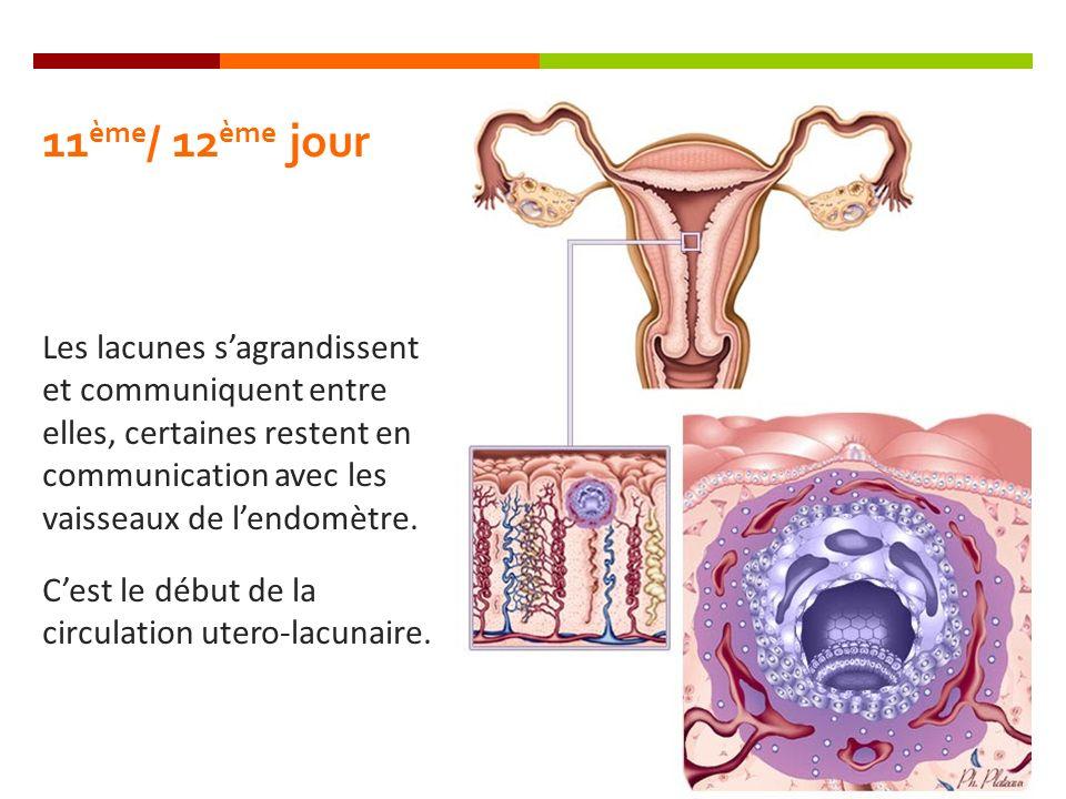 11ème/ 12ème jour Les lacunes s'agrandissent et communiquent entre elles, certaines restent en communication avec les vaisseaux de l'endomètre.