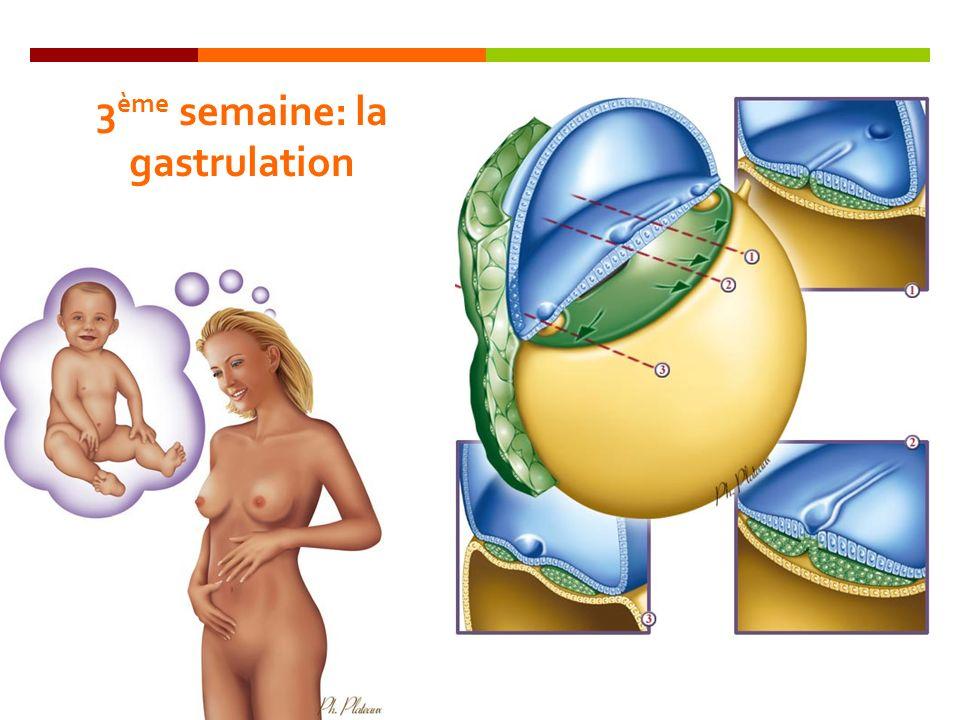 3ème semaine: la gastrulation