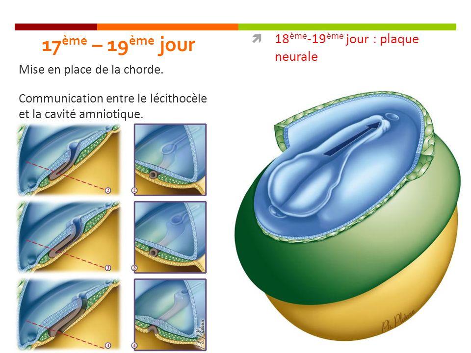 17ème – 19ème jour 18ème-19ème jour : plaque neurale